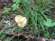 Golden Chanterelle